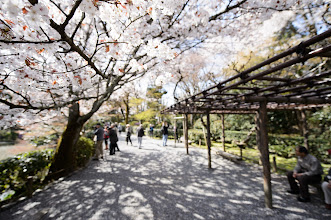 """Photo: This photo appeared in an article on my blog on Apr 9, 2013. この写真は4月9日ブログの記事に載りました。 """"Cherry Blossoms at Kyoto's Ryouanji Temple, Part 1"""" http://regex.info/blog/2013-04-09/2241"""