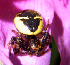 """Photo: L'araignée-napoléon """"Synaema globosum"""". Son nom est issu de la forme de la tache noire du dessus de son abdomen qui ressemblerait au chapeau de notre empereur ! Ici au tôt matin sur un ciste cotonneux . Elle chasse à l'affût."""