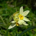 Paperwhite narcissus (δακράκι)