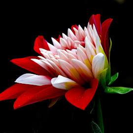 Dahlia bud  by Asif Bora - Flowers Flower Buds (  )
