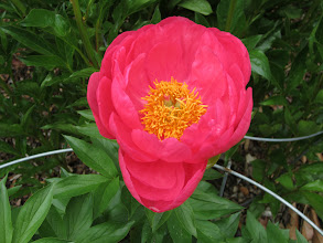 Photo: Bold pink peony in the Asian Valley