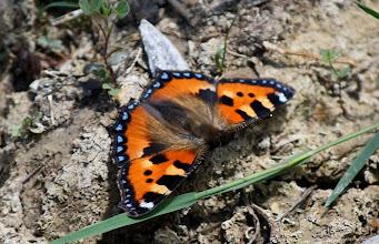 Photo: Aglais urticae   Lepidoptera Nymphalidae