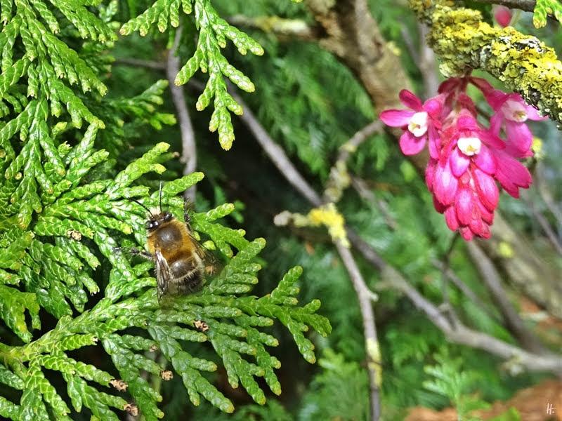 2019-03-24 LüchowSss Garten Pelzbiene (Anthophora plumipes) auf Lawsons Scheinzypresse (Chamaecyparis lawsoniana)