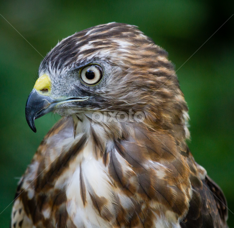 Broad-winged Hawk by Mike Trahan - Animals Birds ( bird, nature, broad-winged hawk )