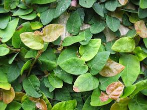 Photo: Unha de Gato (Ficus pumila)