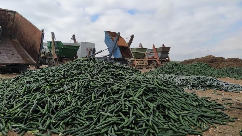 Destrucción de pepinos ayer en el paraje ejidense de La Molina.