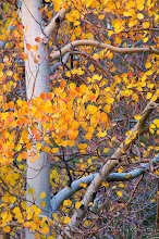 Photo: Aspen in Fall; North Lake, Bishop.  #treetuesday