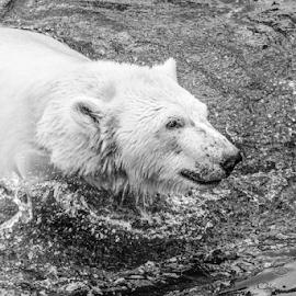 Polar by Garry Chisholm - Black & White Animals ( polar bear, nature, mammal, lapland, ranua, finland, garry chisholm )