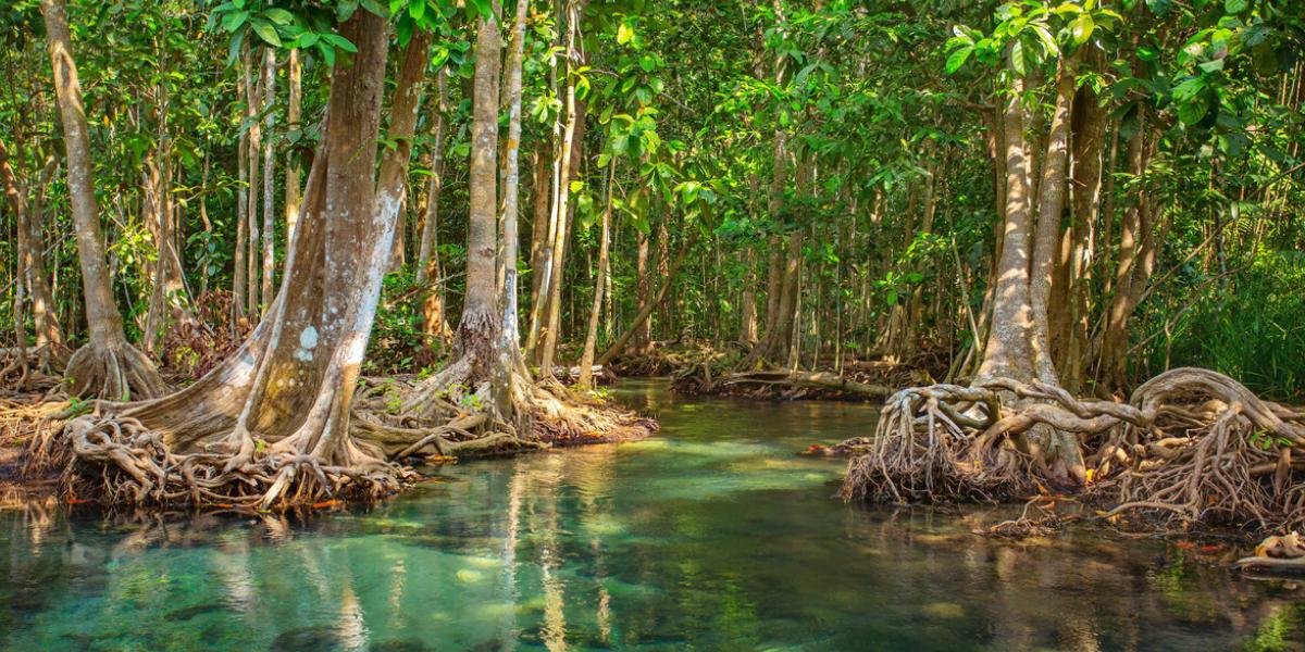Mangrove de Martinique