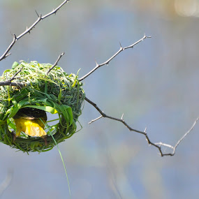 Building nest by Belinda O'Connor - Nature Up Close Other Natural Objects ( bird with nest, yellow bird, building nest )