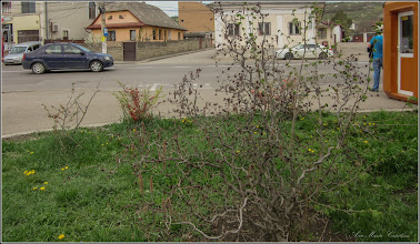 "Photo: Alun - Corylus avellana ""Contorta"" si ""Red Majestic""  - de pe str. Andrei Muresan - 2018.04.13"