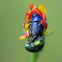 Cylindrical Leaf Beetle