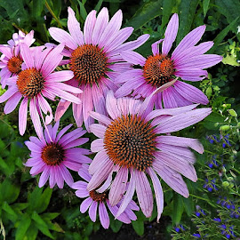 Pink coneflowers by Mary Gallo - Flowers Flower Gardens ( flowers, pink, nature, garden flowers, pink coneflowers,  )