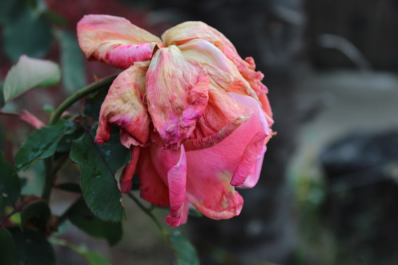 Death of Rose di jari_pulze