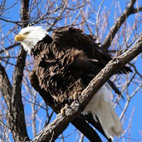 Bald Eagle in the Wind by Tracy Lynn Hart - Animals Birds ( bird, predator, eagle, america, majestic, bald eagle, raptor, prey,  )