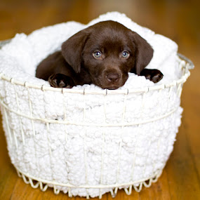 Puppy in a Basket by Aimee Hultzapple - Animals - Dogs Puppies