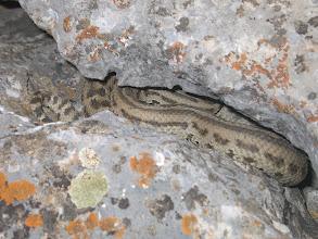 Photo: Abshir, copperhead snake