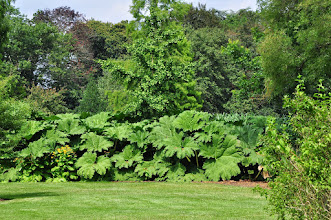 Photo: Gunnera manicata - RHS gardens Wisley