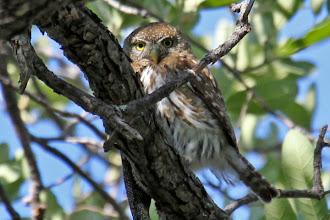 Photo: Northern Pygmy-Owl