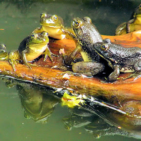 Frog Party by Terry Davey - Animals Amphibians ( frog party )