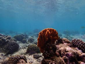 Photo: Orange Sponge, Miniloc Island Resort reef, Palawan, Philippines.