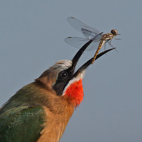 Last flight of the dragonfly by Francois Retief - Animals Birds