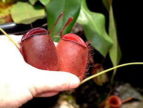 "Photo: N. ampullaria ""red"". Foto: R. Cantley."