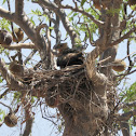 Whistling Kite (nest)