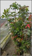 Photo: Mahonia  (Mahonia aquifolium) - din Cimitirul Central - 2018.04.07