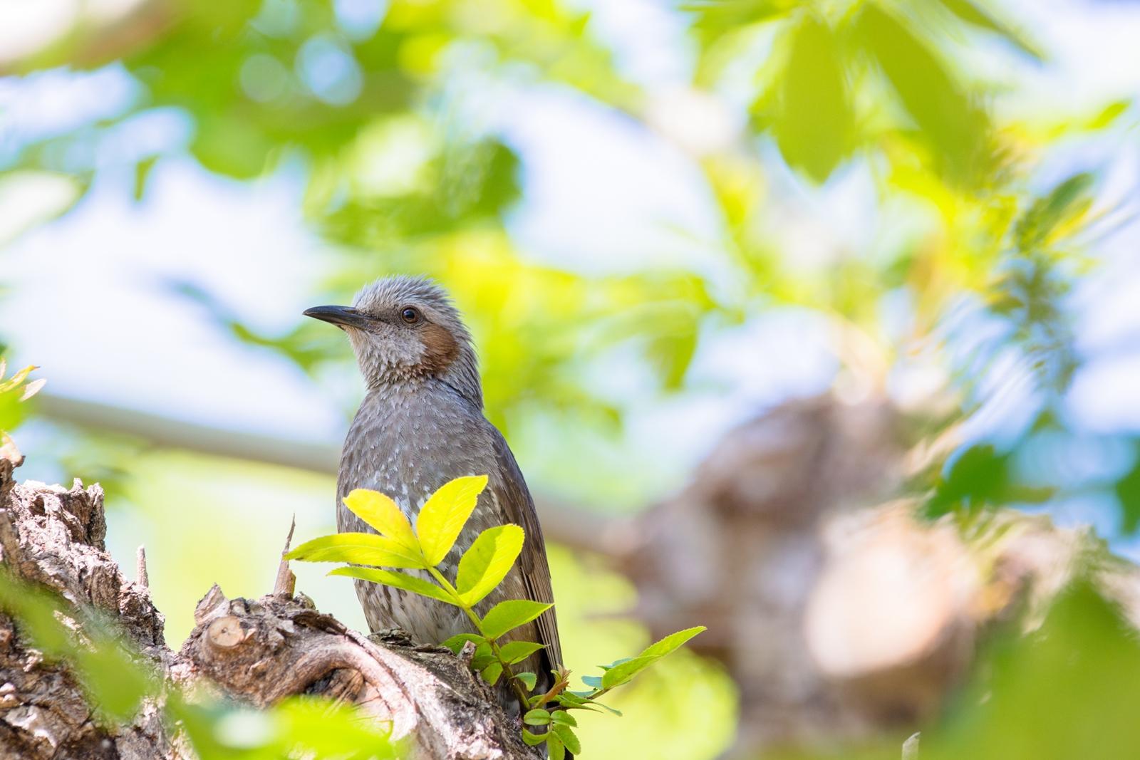 Photo: 「変わっていく色」 / Changing of the green season.  毎日見てるよ 少しずつ変わっていく君を 色濃さを増し 大きく成長していく君を  Brown-eared Bulbul. (ヒヨドリ)  Nikon D7200 SIGMA 150-600mm F5-6.3 DG OS HSM Contemporary  #birdphotography #birds #kawaii #ことり #小鳥 #nikon #sigma  ( http://takafumiooshio.com/archives/2469 )
