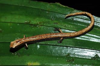 Photo: 16 Oedipina savagei, Esquinas Rainforest (08°42´/-83°12´), 02.07.2008, Author Erwin Holzer, det. Gerardo Chaves