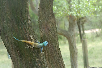 Photo: A Tree Agama (Afrikaans: Boomkoggelmander), Bontle Camping Site, Marakele National Park, South Africa.