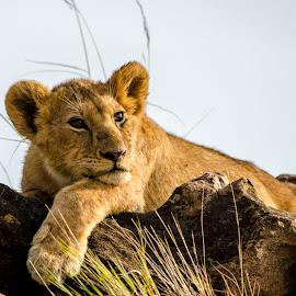 Lazy bum by Praveen Chandra - Animals Lions, Tigers & Big Cats ( lion, cub, lion cub )