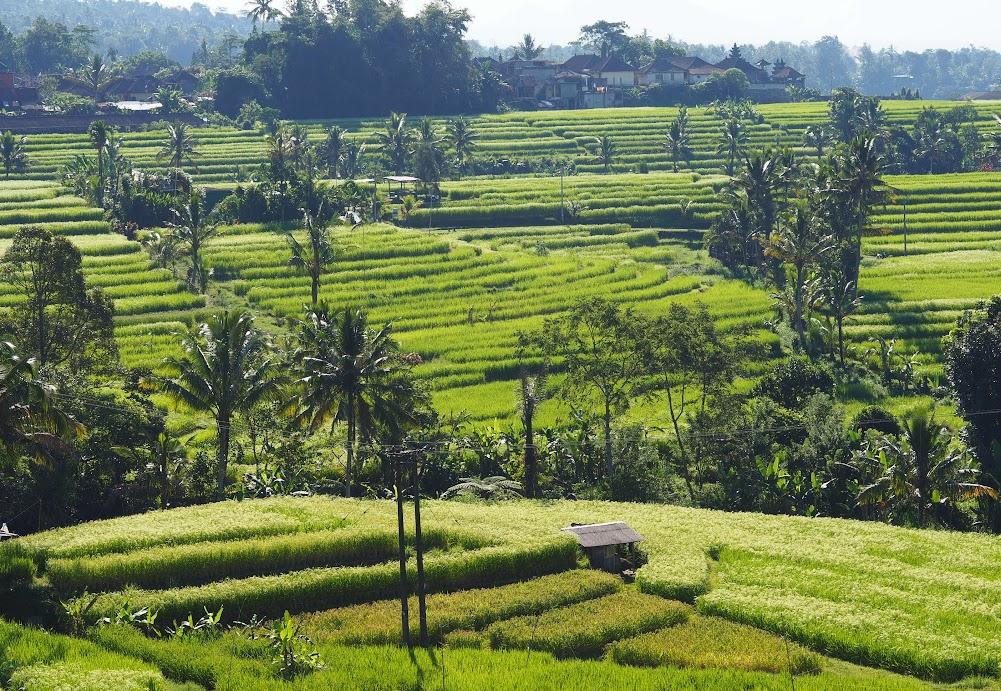 The rice terraces of Jatiluwih, Bali