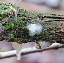 Photo: Crystal Brain Fungus (Exida thuretiana)