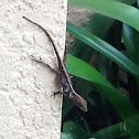 Brown Anole ( One Reptile Molting )