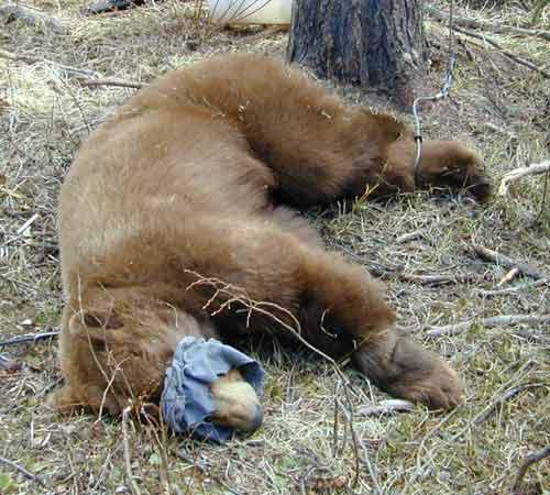 Blindfolded black bear.