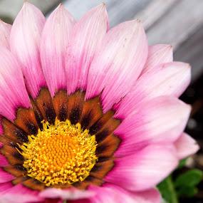 Pink Gazania by Sandra Veech - Nature Up Close Flowers - 2011-2013 ( gazania, details, pink petals, pink, yellow center, corner angle )