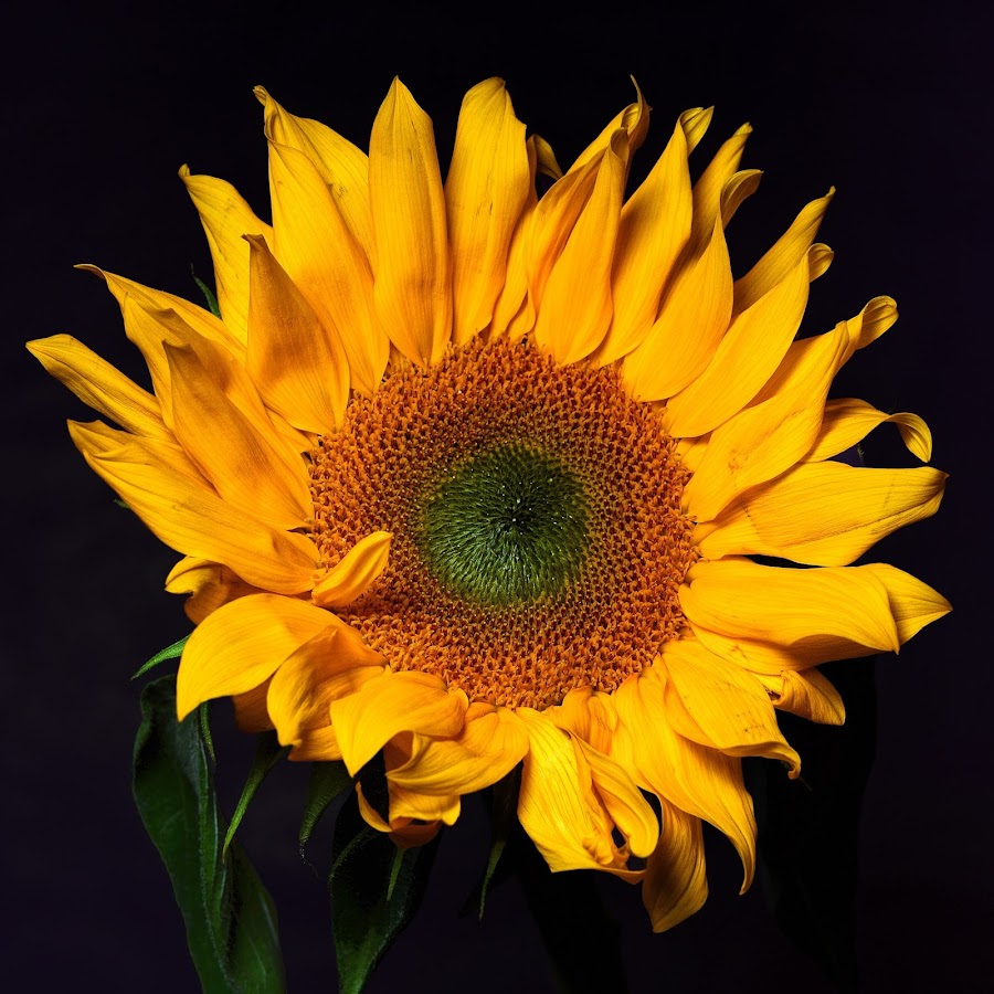 Sunflower by Lesley Hudspith - Flowers Single Flower ( plant, yellow, sun, flower, petal,  )