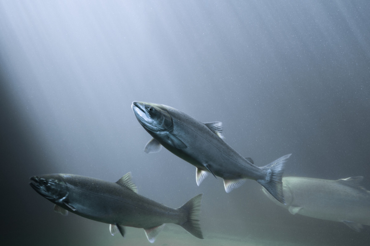 5 Reasons Wild-Caught Fish Isn't Better Than Sustainable ...