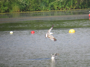 Photo: 16 Jul 13 Priorslee Lake: All gulls moulting at the moment: this Herring Gull has adult-looking mantle and 3 inner primaries (the 4th is re-growing). But the strength of the band on the tail suggests it has another year to go before it really is a full adult. (Ed Wilson)