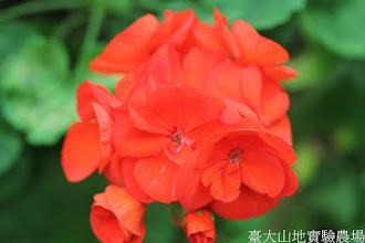 Photo: 拍攝地點: 梅峰-溫帶花卉區 拍攝植物: 天竺葵 拍攝日期: 2015_11_13_FY