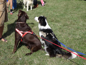 Photo: Winston Lab and Galu Border Collie