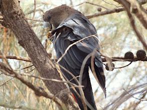 Photo: Glossy Black-Cockatoo (male)  Mt Ainslie