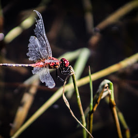 Wings  by Mariesa Taljaard - Animals Insects & Spiders ( dragonfly, red, dragon fly, nature, wings,  )