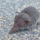 Eurasian pygmy shrew