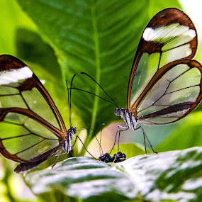 Glasswing Butterflies by Sarah King - Animals Insects & Spiders