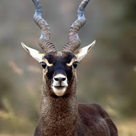 Black Buck closeup by Prasanna Bhat - Animals Other Mammals ( blackbuck )