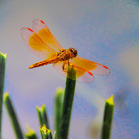 by Bernice Then - Novices Only Wildlife ( amazingworlds, beautiful, backyardmarvels, dragonfly, insect,  )