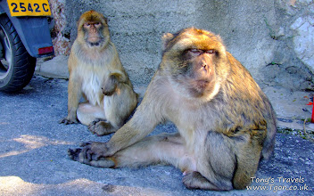 Photo: Apes in Gibraltar